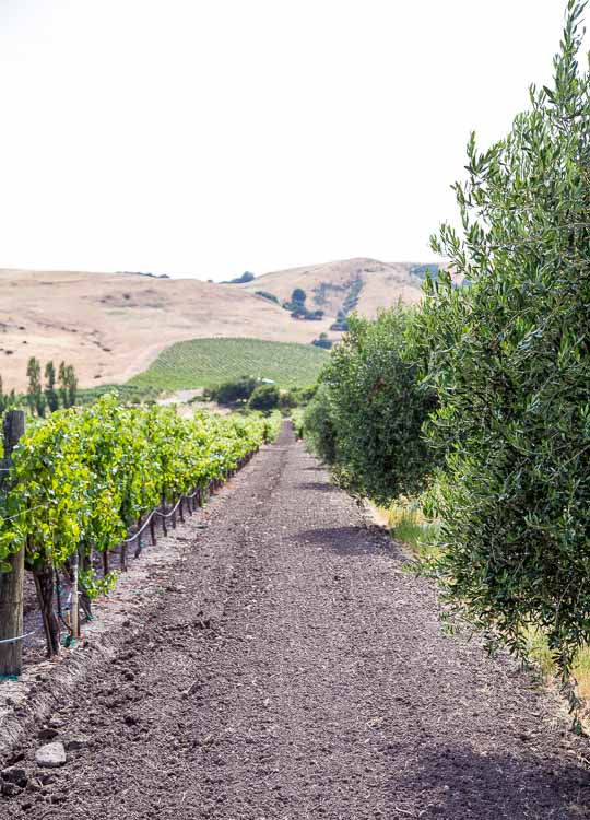 Between the olive trees and grape leaves is where I'll be. (Sonoma)